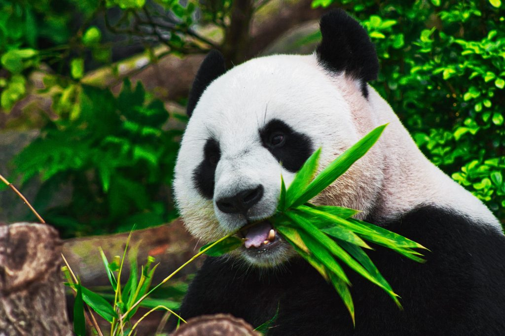 Panda Bear Eating the Stem of a Green Plant